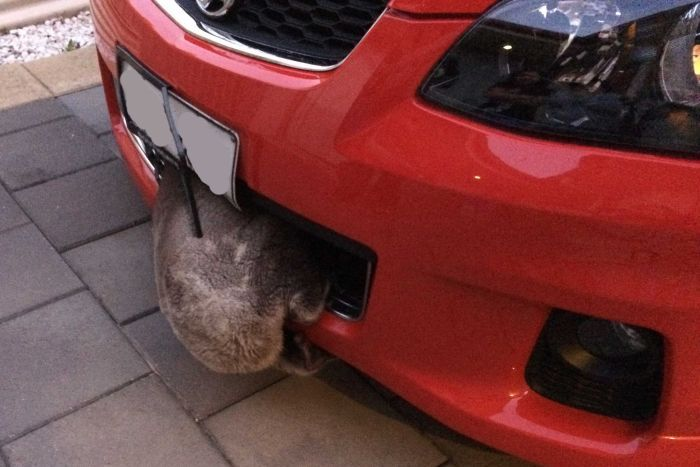 koala wedged in car