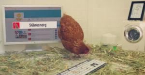 chicken-tweet-betty