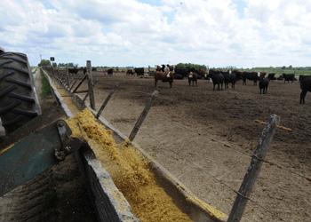 grain fed cattle