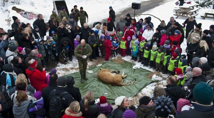 lion dissected danish zoo