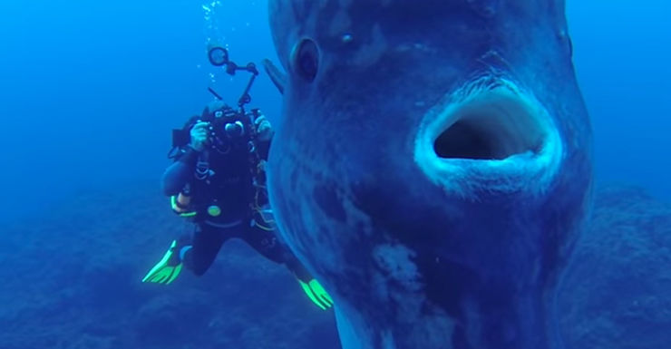 mola mola sunfish youtube