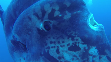 mola mola ocean sunfish youtube