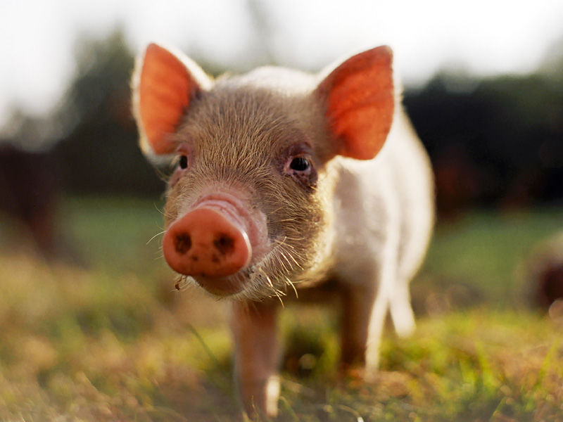 small-pig-shutterstock