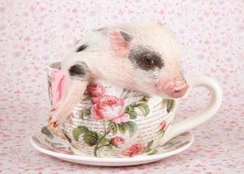 Previously, so-called teacup pigs were just babies that grew into fat adults. Photo: Shutterstock