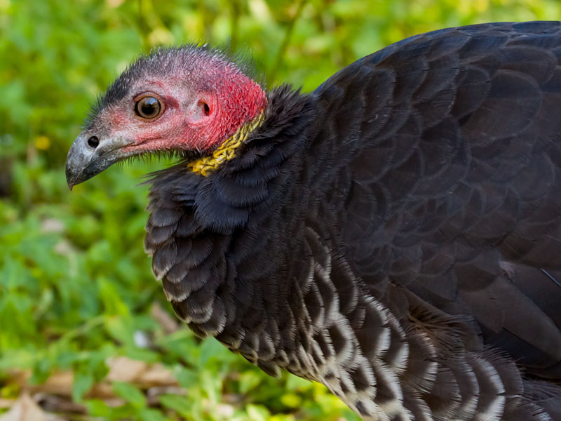 It's almost impossible to move a Brush turkey once it has started building.