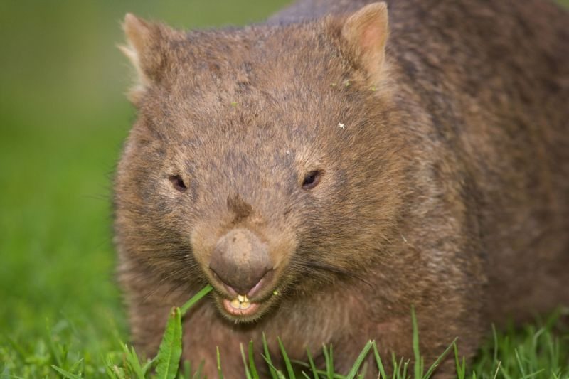 The wombat was uninjured despite its ordeal. Photo: AAP