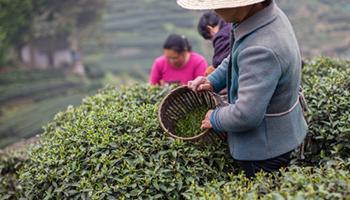 Green tea originated in China. Photo: Getty