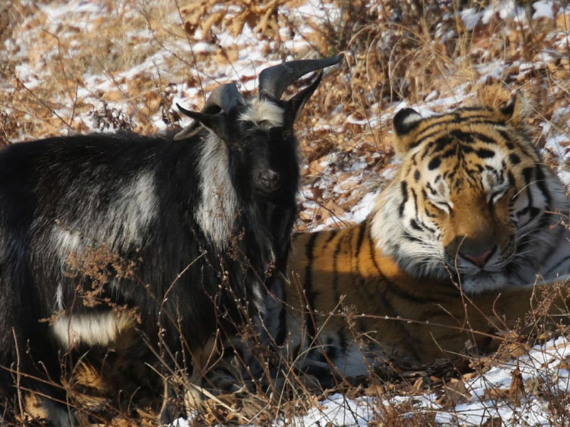 goat and tiger friends