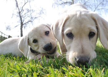 labrador puppies dogs
