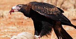 wedge-tailed-eagle-edm