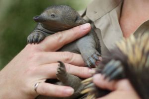 Keepers won't know the puggle's gender four a couple of years. Photo: ABC