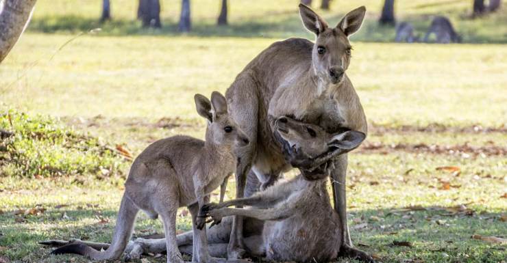 Dying kangaroo