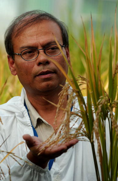 Golden rice plants offer an impressive solution to world hunger. Photo: Getty