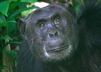 uganda chimpanzee monkey