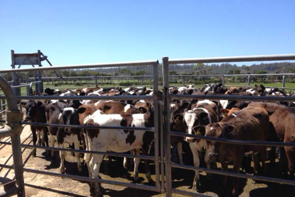 Cows herded at the New Zealand owned Van Diemen's Land Dairy Farm. Photo: ABC