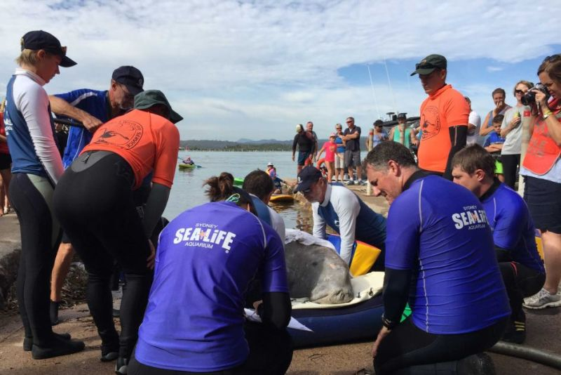 Marine experts feared cooling temperatures and a lack of food would eventually prove fatal for the dugong. Photo: Alice Matthews/ABC