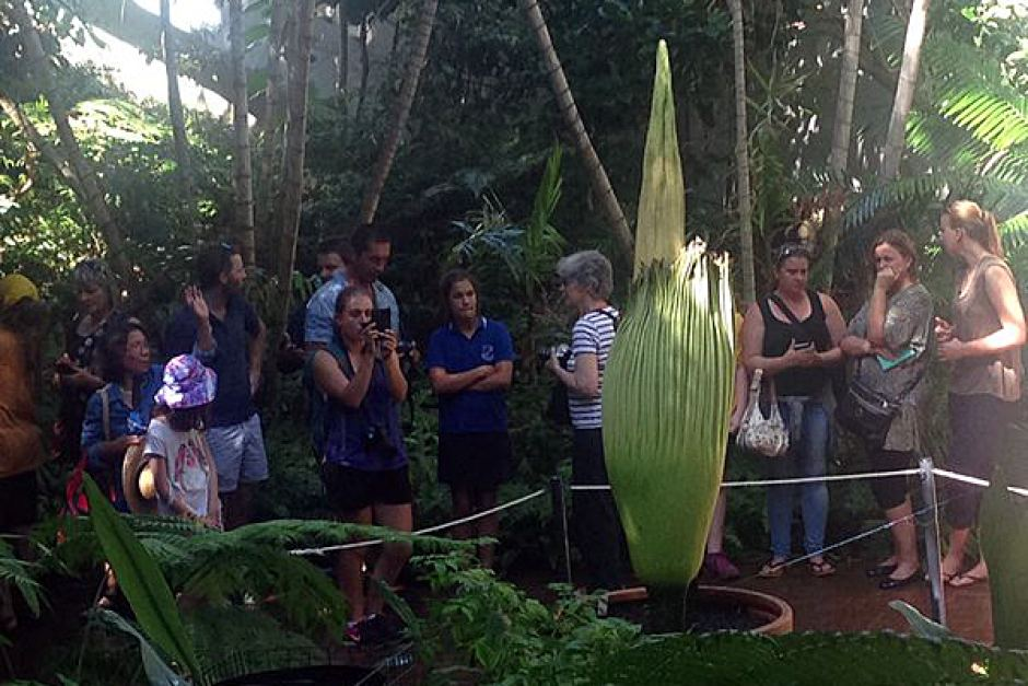 Adelaide 39 S Corpse Flower Opens At Botanic Gardens The New Daily