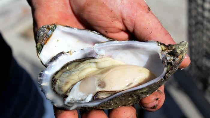 POMS is lethal to Pacific oysters only, and the virus kills them within hours of infection.