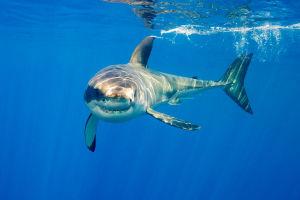 There were 18 unprovoked shark attacks in Australia in 2015. Photo: Barcroft/Getty