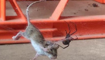 Lauren Donaldson took this photo of a redback spider capturing a field mouse on Wednesday. Photo: Lauren Donaldson