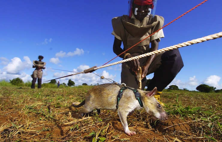 A landmine detector rat in Mozambique. Photo: Getty