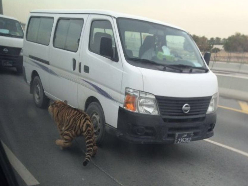 Keeping wild animals, including tigers, as pets is not uncommon in Qatar.