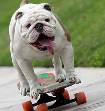 The British bulldog, like Otto, is a brachycephalic breed.