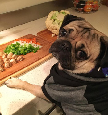 Vets say pugs like Doug ,brachycephalic dogs, are prone to serious complications.