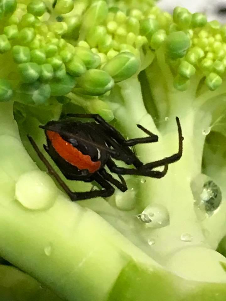 woolworths broccoli spider