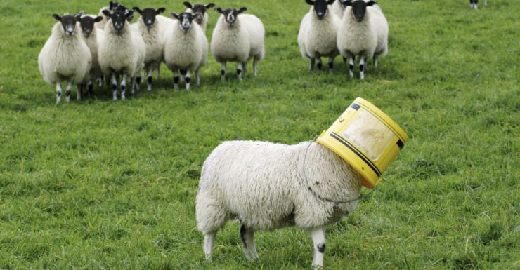 Stoned Sheep Go On Psychotic Rampage In Welsh Village