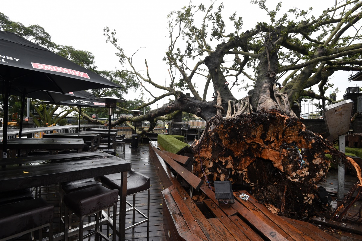 A large fig tree is seen toppled over at the beer garden of the Normanby Hotel in Brisbane.