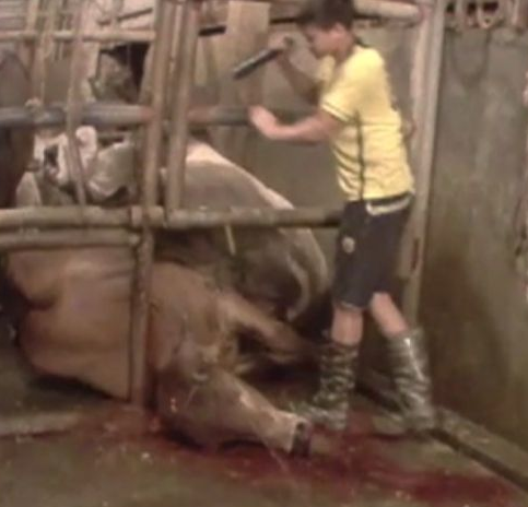 cattle sledgehammer vietnam