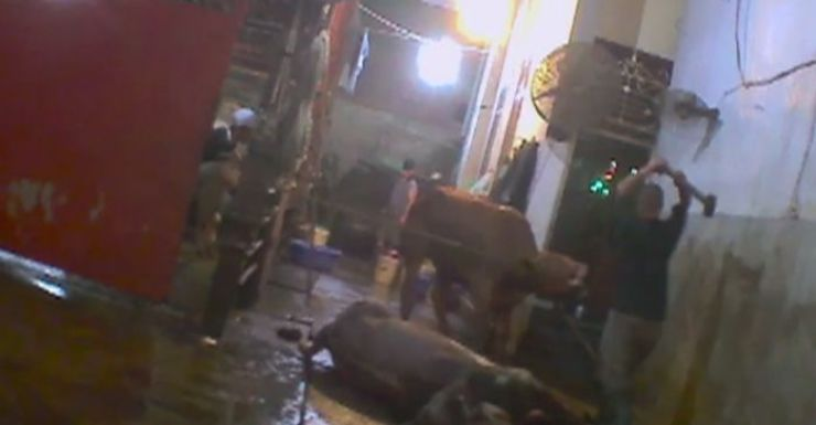 cattle abuse vietnam