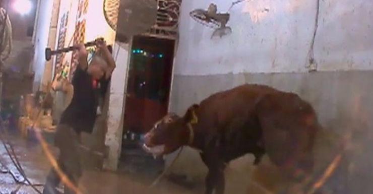 cattle exports cruelty