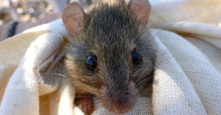 Study claims Bramble Cay melomys are extinct due to climate change.