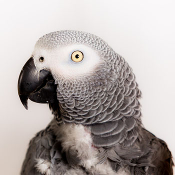 Grey African parrots are apparently known for their mimicking ability. Photo: Getty