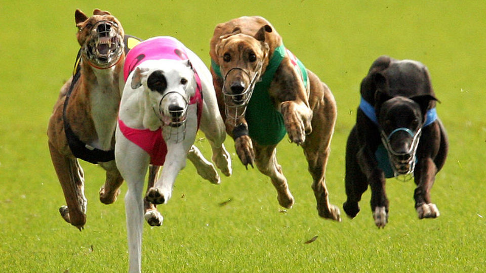 greyhound racing foley