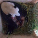Yang Yang cradles her new cub.