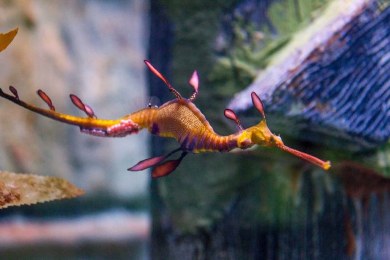 Male weedy sea dragon incubate the eggs after receiving them from the female.