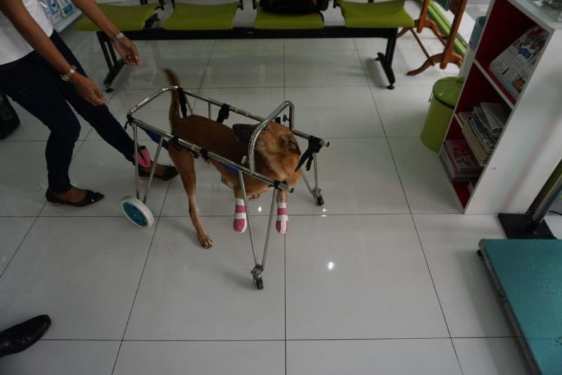 Cola the dog took slow steps to heal after the sword attack.