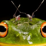 """The winning photo, """"Piercing Headache"""" of an orange-eyed tree frog and a pair of mosquitoes."""