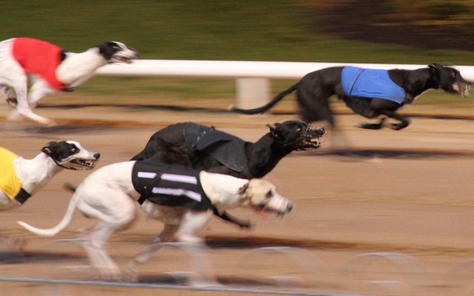 greyhound racing australia results