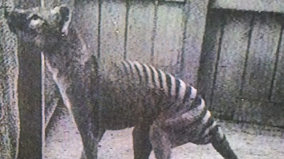Tasmanian Tiger Alive Today