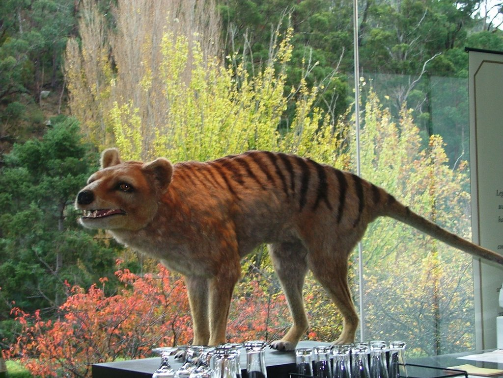 Tasmanian tiger alive today the image - Show me a picture of the tiger ...