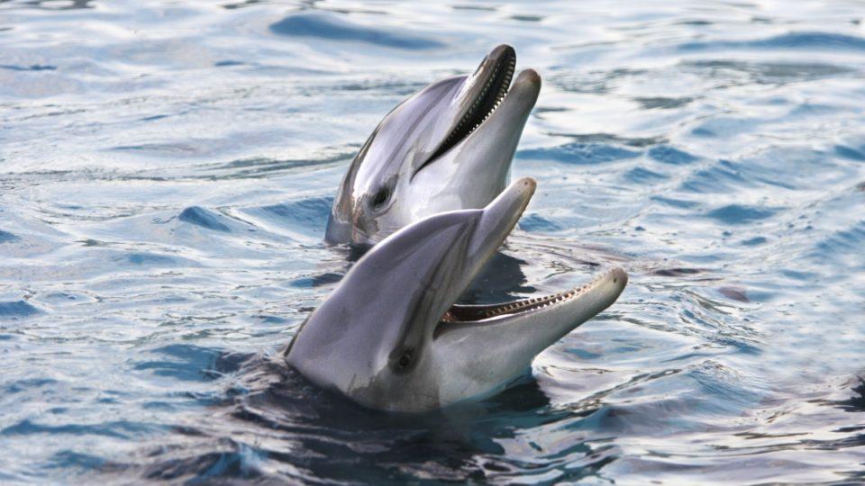 Dolphin communication