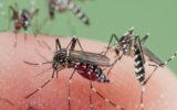 mosquito invasion
