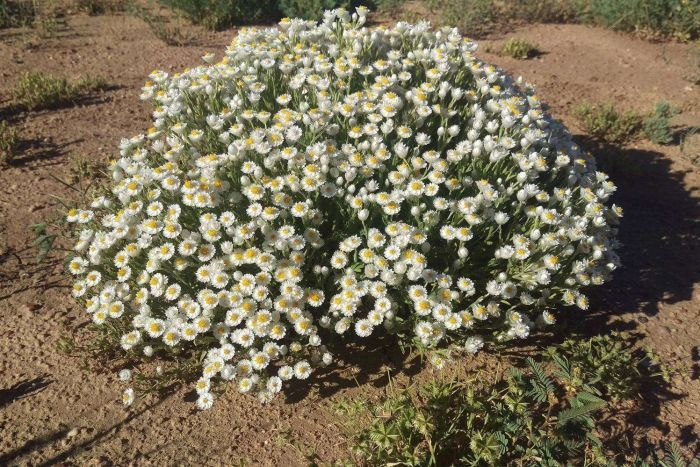 Paper daisies can be found along the side of Landsborough Highway in western Queensland. Photo: ABC