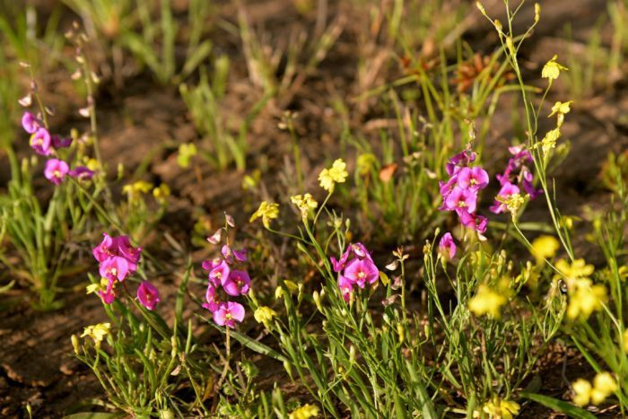 Wildflowers are blooming in western Queensland after winter rain. Photo: ABC