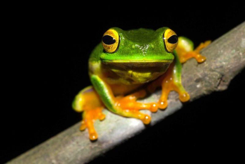 Cape York Tree Frog