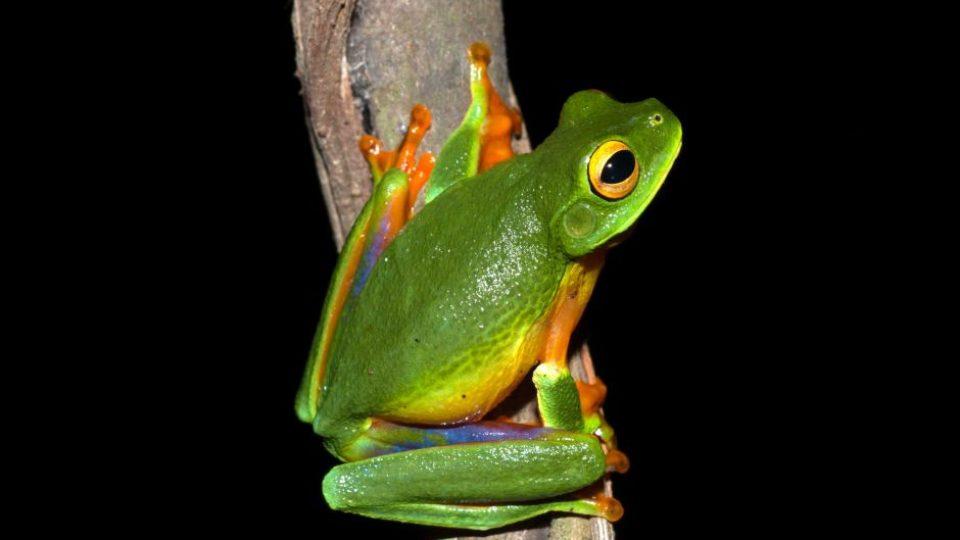 Cape York graceful tree frog